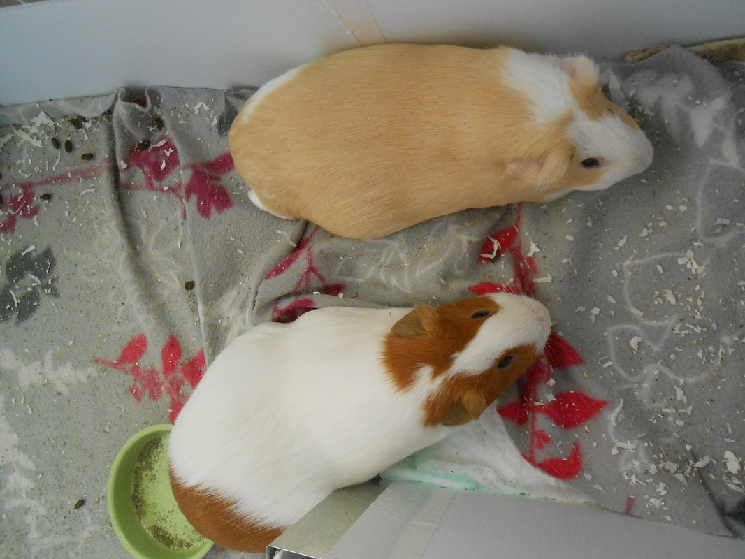 Cuy Page Los Angeles Guinea Pig Rescue